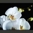 Fototapeta - Phalaenopsis A0-F4TNT0076-P